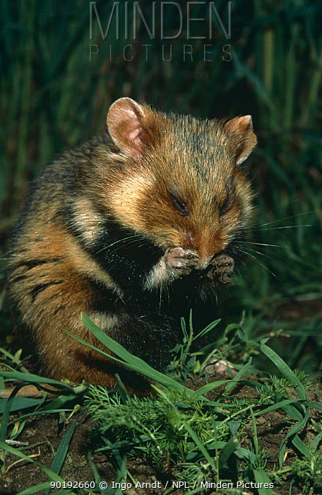 Common hamster (Cricetus cricetus) grooming muddy paws after burrowing, Germany  -  Ingo Arndt/ npl