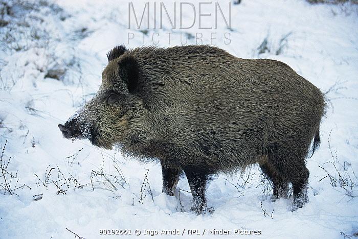 Wild boar in snow (Sus scrofa) Germany  -  Ingo Arndt/ npl