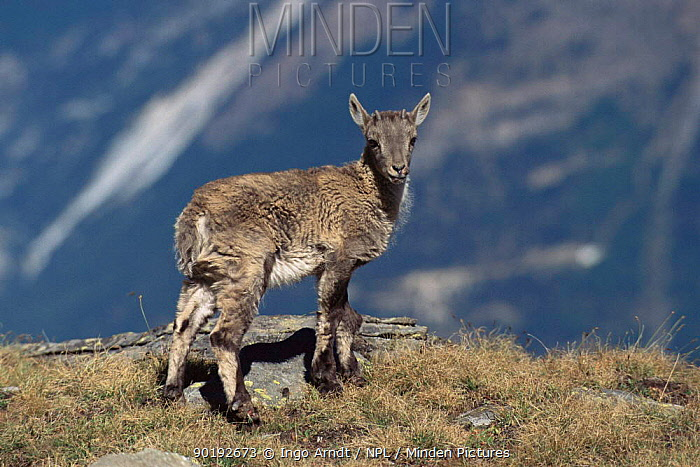 Alpine ibex juvenile (Capra ibex ibex) Gran Paradiso NP, Italy  -  Ingo Arndt/ npl