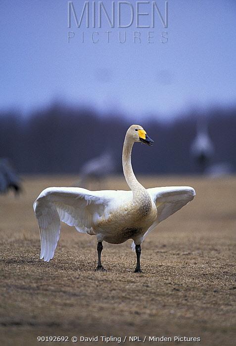 Whooper swan display (Cygnus cygnus) Sweden  -  David Tipling/ npl