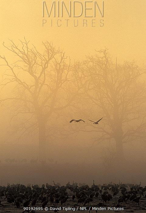 Common cranes feeding at sunrise (Grus grus) Hornborga, Sweden  -  David Tipling/ npl