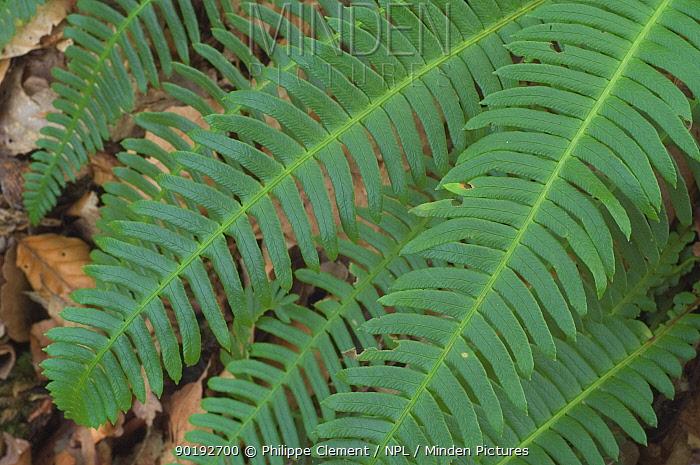 Deer, hard fern fronds (Blechnum spicant) Belgium  -  Philippe Clement/ npl