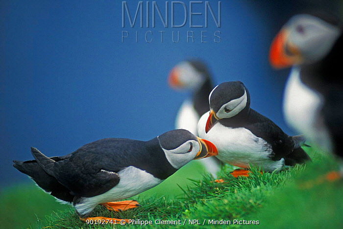 Puffin courtship (Fratercula arctica) Shetland Is, Scotland, UK  -  Philippe Clement/ npl