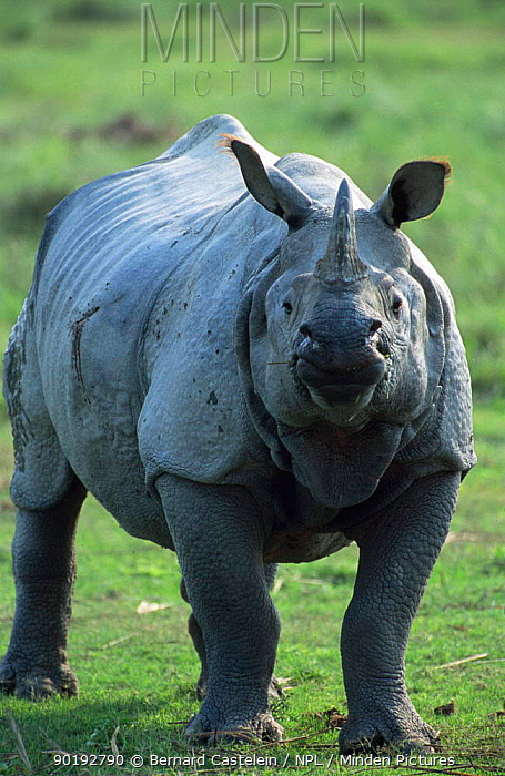 Indian rhinoceros (Rhinoceros unicornis) Kaziranga, Assam, India  -  Bernard Castelein/ npl