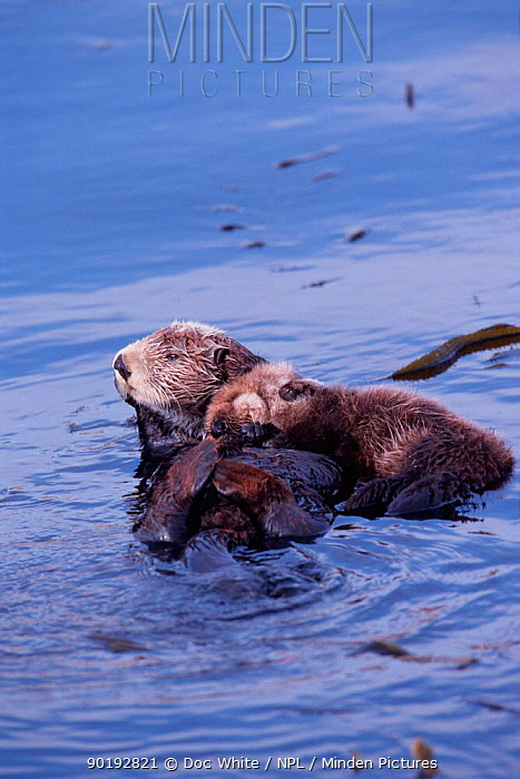 Sea otter and young resting in kelp (Enhydra lutris) CA USA Monterey Bay captive  -  Doc White/ npl