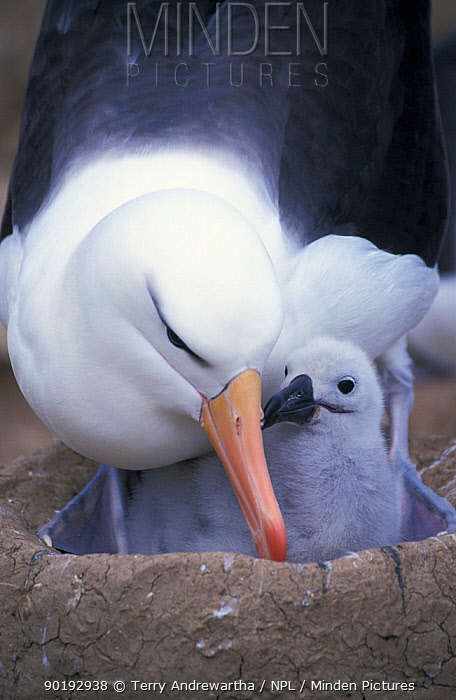 Black browed albatross at nest with chick (Thalassarche melanophrys) Falkland Is  -  Terry Andrewartha/ npl