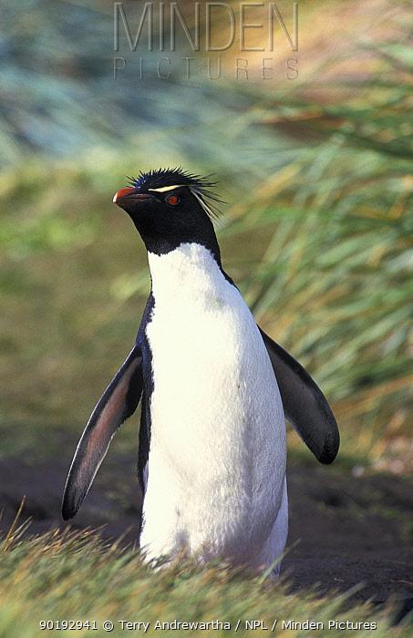 Rockhopper penguin (Eudyptes chrysocome, crestatus) Antarctica  -  Terry Andrewartha/ npl