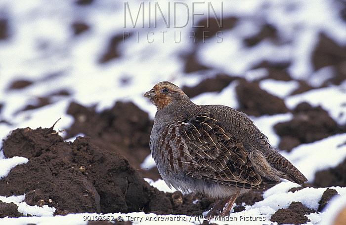 Grey partridge in snow (Perdix perdix) Norfolk, UK  -  Terry Andrewartha/ npl