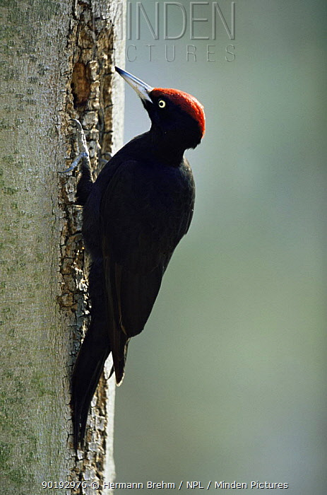 Black woodpecker (Dryocopus martius) at nest hole in tree trunk, Germany  -  Hermann Brehm/ npl