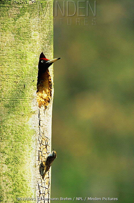 Black woodpecker (Dryocopus martius) at nest hole and Common treecreeper (Certhia familiaris) on trunk, Germany  -  Hermann Brehm/ npl