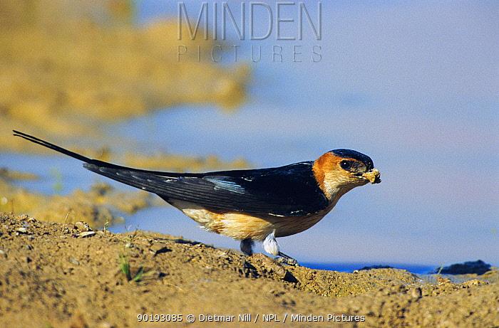 Red rumped swallow collecting mud (Cecropis daurica) Spain  -  Dietmar Nill/ npl