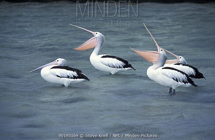 Australian pelicans, beaks open to catch rain (Pelecanus conspicillatus)Queensland,  -  Steve Knell/ npl