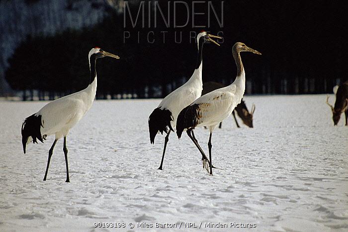 Japanese crane pair (Grus japonensis) with young Japan  -  Miles Barton/ npl