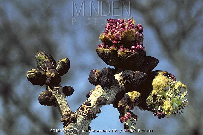 Close-up of buds on an Ash tree (Fraxinus excelsior) Scotland UK  -  Duncan McEwan/ npl