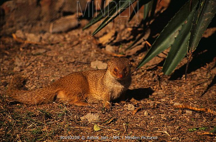 Indian Grey, Common mongoose (Herpestes edwardsi) India  -  Ashok Jain/ npl
