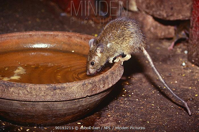 Black rat (Rattus rattus) drinking from bowl in Hindu temple Bikaner, Rajasthan, India  -  Ashok Jain/ npl