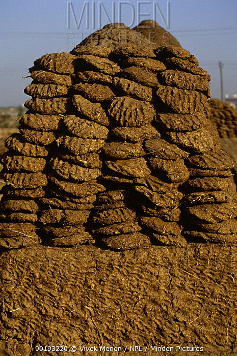 Pile of cow dung patties used for fuel, New Delhi, India  -  Vivek Menon/ npl