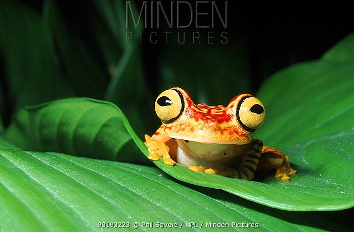 Rainforest tree frog on leaf, Ecuador, South America  -  Phil Savoie/ npl