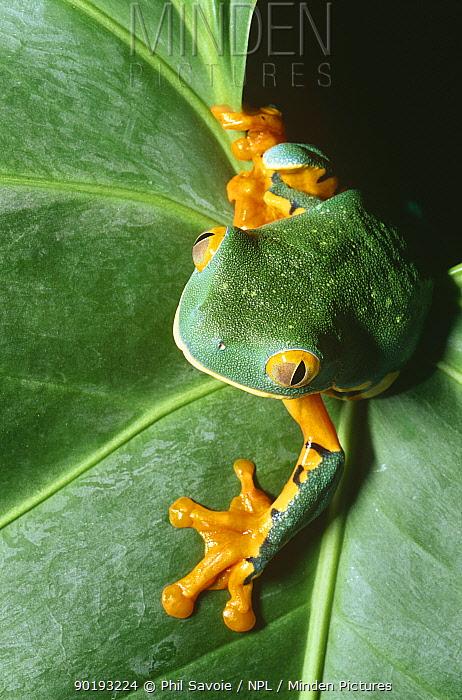 Rainforest tree frog on leaf (Agalychnis calcarifer) Costa Rica, captive  -  Phil Savoie/ npl