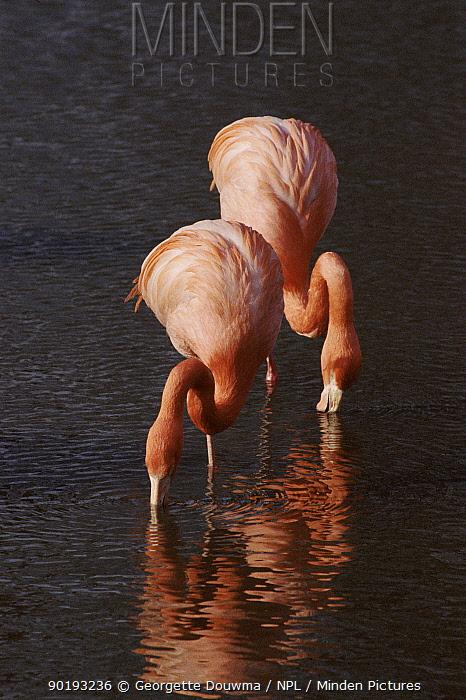 Greater flamingos feeding, Caribbean  -  Georgette Douwma/ npl