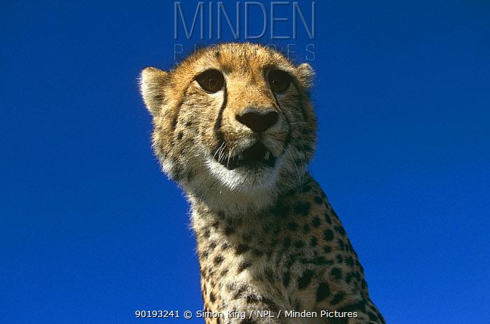 Cheetah (Acinonyx jubatus) 10-months cub, Masai Mara Kenya  -  Simon King/ npl