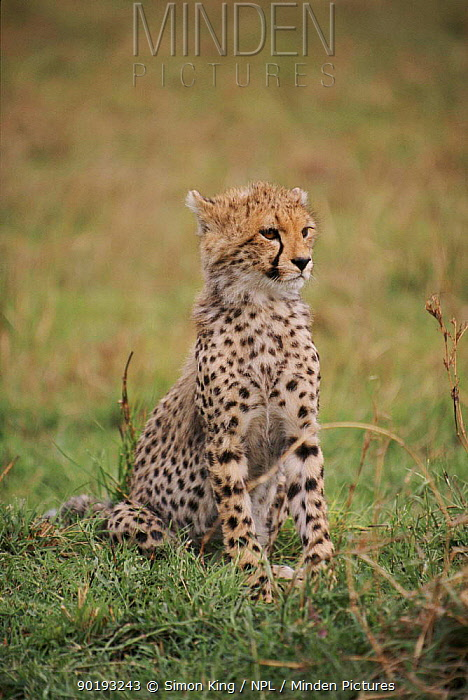 Three, four month-old Cheetah cub, Masai Mara, Kenya  -  Simon King/ npl