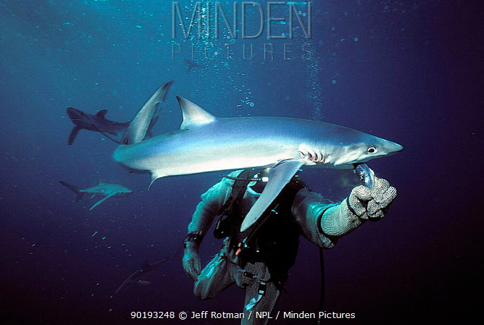 Great blue shark being fed by diver (Prionace glauca) USA Diver in protective chain mail  -  Jeff Rotman/ npl