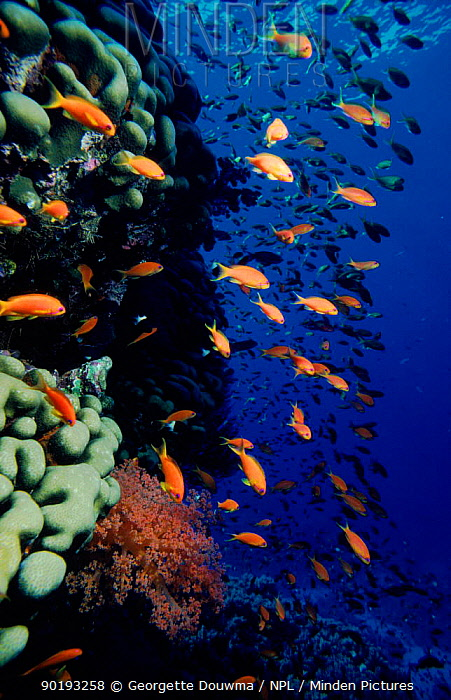 Schooling lyretail anthias fish (Psueudanthias squampinnis) Red Sea  -  Georgette Douwma/ npl