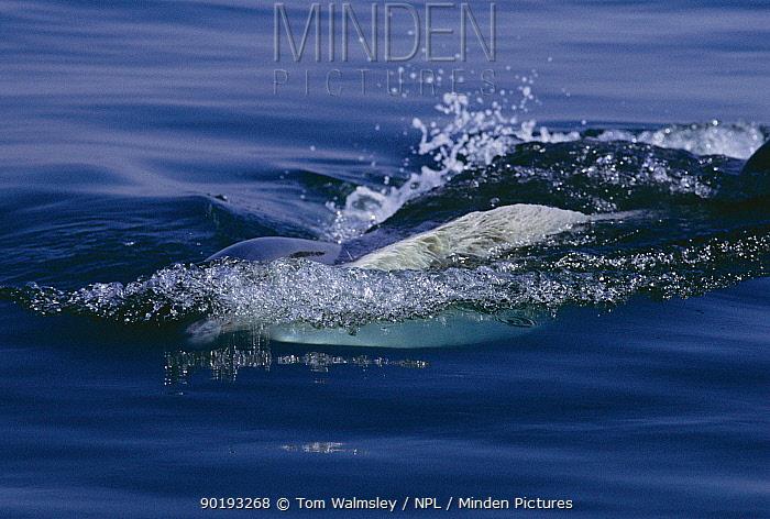 Fin whale lunge feeding (Balaenoptera physalus) Atlantic off Cape Cod, USA  -  Tom Walmsley/ npl