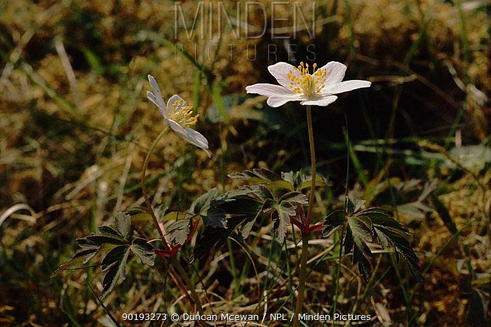 Wood anemone (Anemone nemorosa) Scotland, UK, Europe  -  Duncan McEwan/ npl