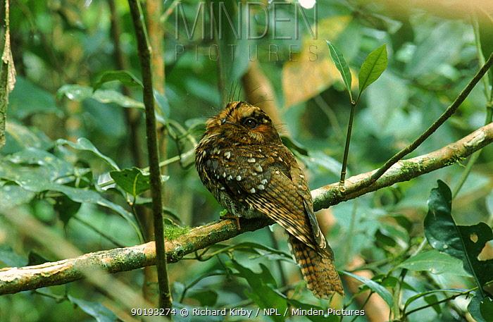 Mountain owlet nightjar Irian Jaya Arfak mountains Western Guinea (West Papua)  -  Richard Kirby/ npl