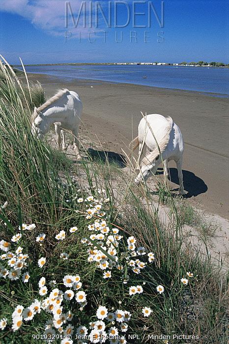 Camargue horses grazing on sand dunes, Camargue, Franc  -  Jean E. Roche/ npl