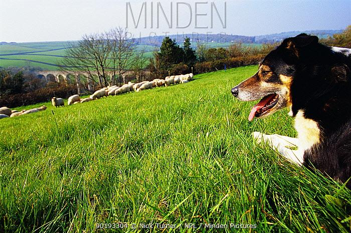 Sheepdog with flock of sheep (Canis familiaris) Pembrokeshire, Wales, UK  -  Nick Turner/ npl