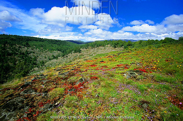 Alpine flowers and montane forest, Mount Elgon NP, West Kenya 2002  -  Nick Turner/ npl