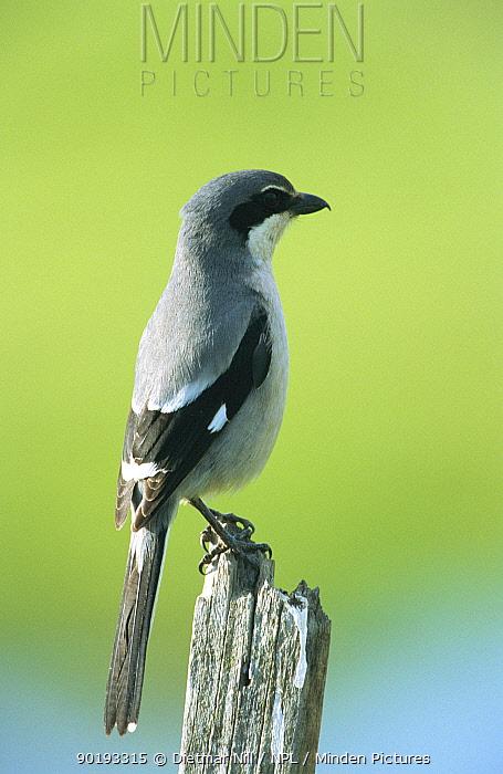 Great grey shrike (Lanius excubitor) Spain  -  Dietmar Nill/ npl