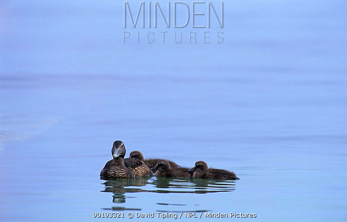Eider duck with chicks on water (Somateria mollissima) Fair Is, Shetlands, Scotland, UK  -  David Tipling/ npl