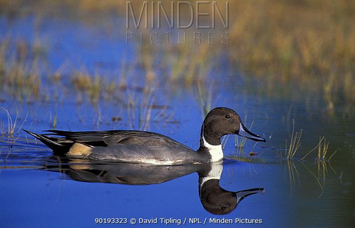 Pintail, male, on water (Anas acuta) UK  -  David Tipling/ npl