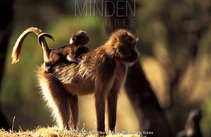 Gelada baboon female carrying young on back, tails entwined (Theropithecus gelada) Ethiopia  -  David Pike/ npl
