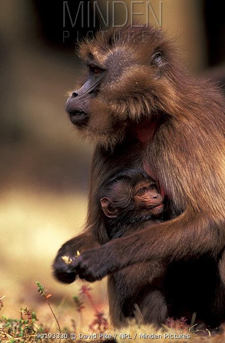 Gelada baboon female suckling young (Theropithecus gelada) Simien mtn NP, Ethiopia  -  David Pike/ npl