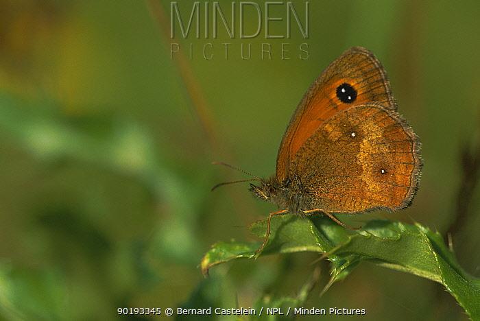 Hedge brown, Gatekeeper butterfly (Pyronia tithounus) Belgium  -  Bernard Castelein/ npl