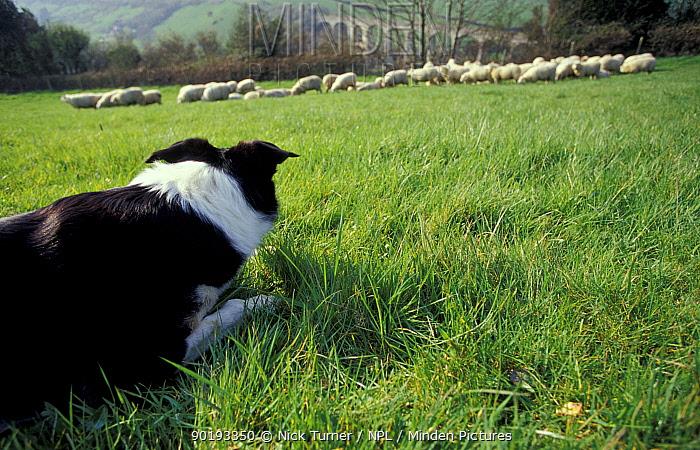 Sheepdog working sheep (Canis familiaris) Devon, UK  -  Nick Turner/ npl