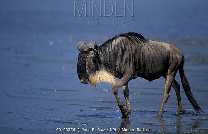 Wildebeest (Connochaetes taurinus) Ngogongoro crater, Tanzania  -  Jose B. Ruiz/ npl