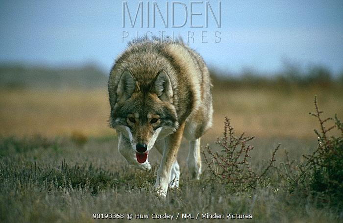 Coyote (Canis latrans) South Dakota, USA  -  Huw Cordey/ npl