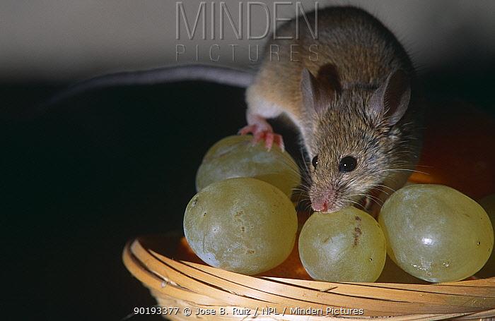 House mouse (Mus musculus) on fruit bowl with grapes, Captive, Spain  -  Jose B. Ruiz/ npl