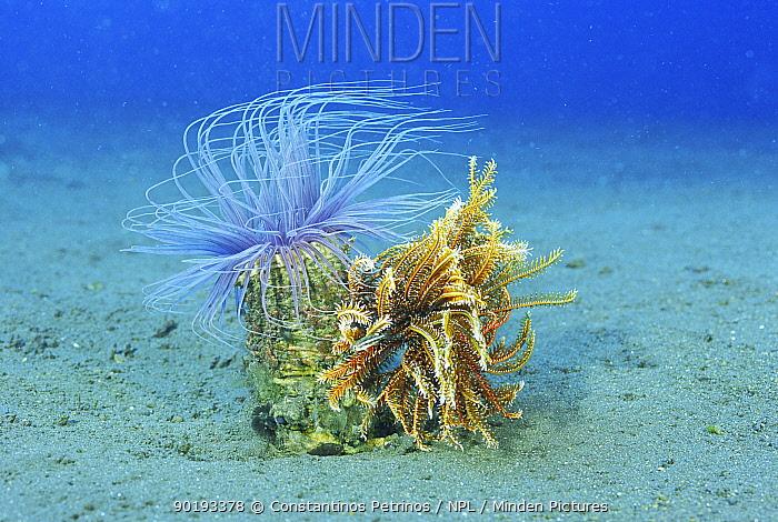 Tube anemone (Cereanthus sp) and Crinoid (Crinoidea) Lembeh Strait, Sulawesi Indonesi  -  Constantinos Petrinos/ npl