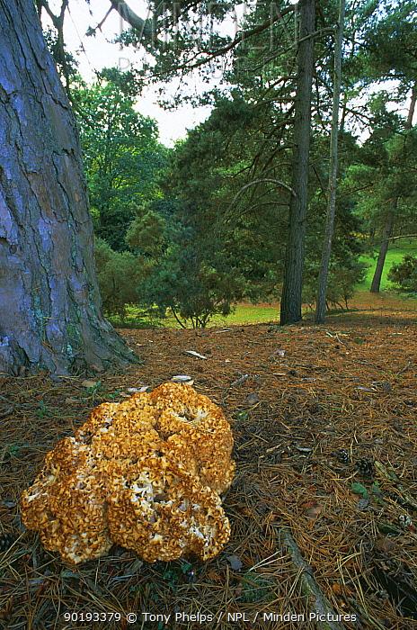 Cauliflower, Brain fungus (Sparassis crispa) woodland,Dorset, UK  -  Tony Phelps/ npl