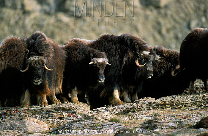 Musk ox herd (Ovibos moschatus) Canadian Arctic  -  Doc White/ npl