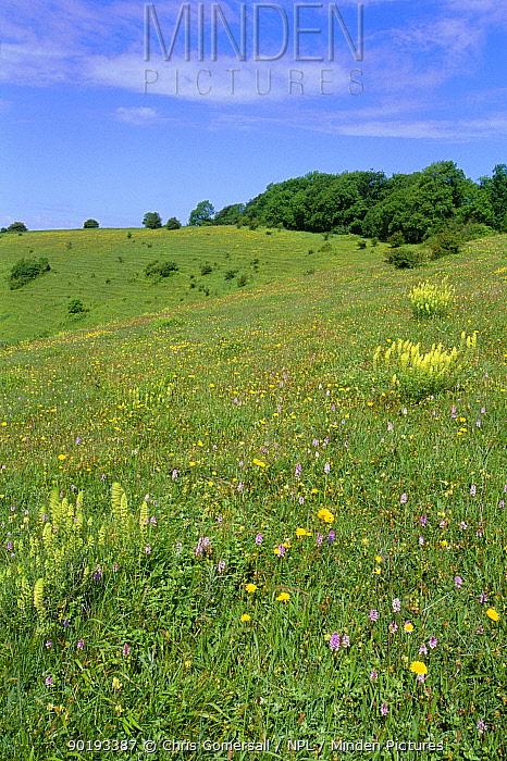 Chalk downland flowers, Beacon Hill NNR, Hampshire, UK  -  Chris Gomersall/ npl