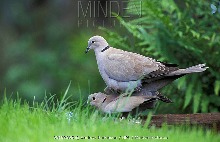 Collared doves mating (Streptopelia decaocto) Crich, Derbyshire, UK  -  Andrew Parkinson/ npl