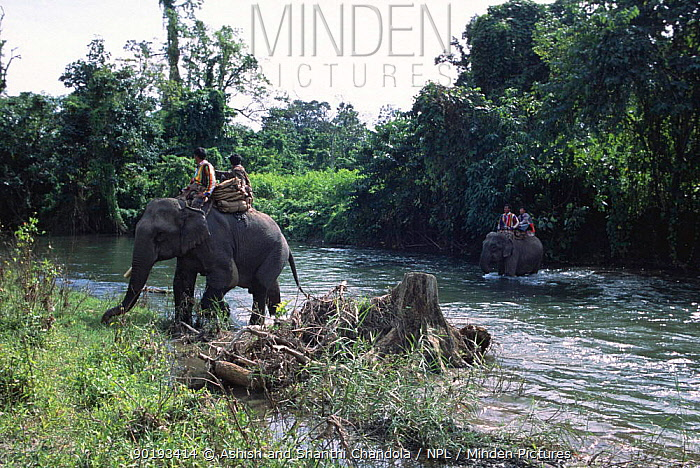 Khamtis cross river on Indian elephants on elephant hunt Arunachal Pradesh, NE India  -  Ashish Shanthi Chandola/ npl